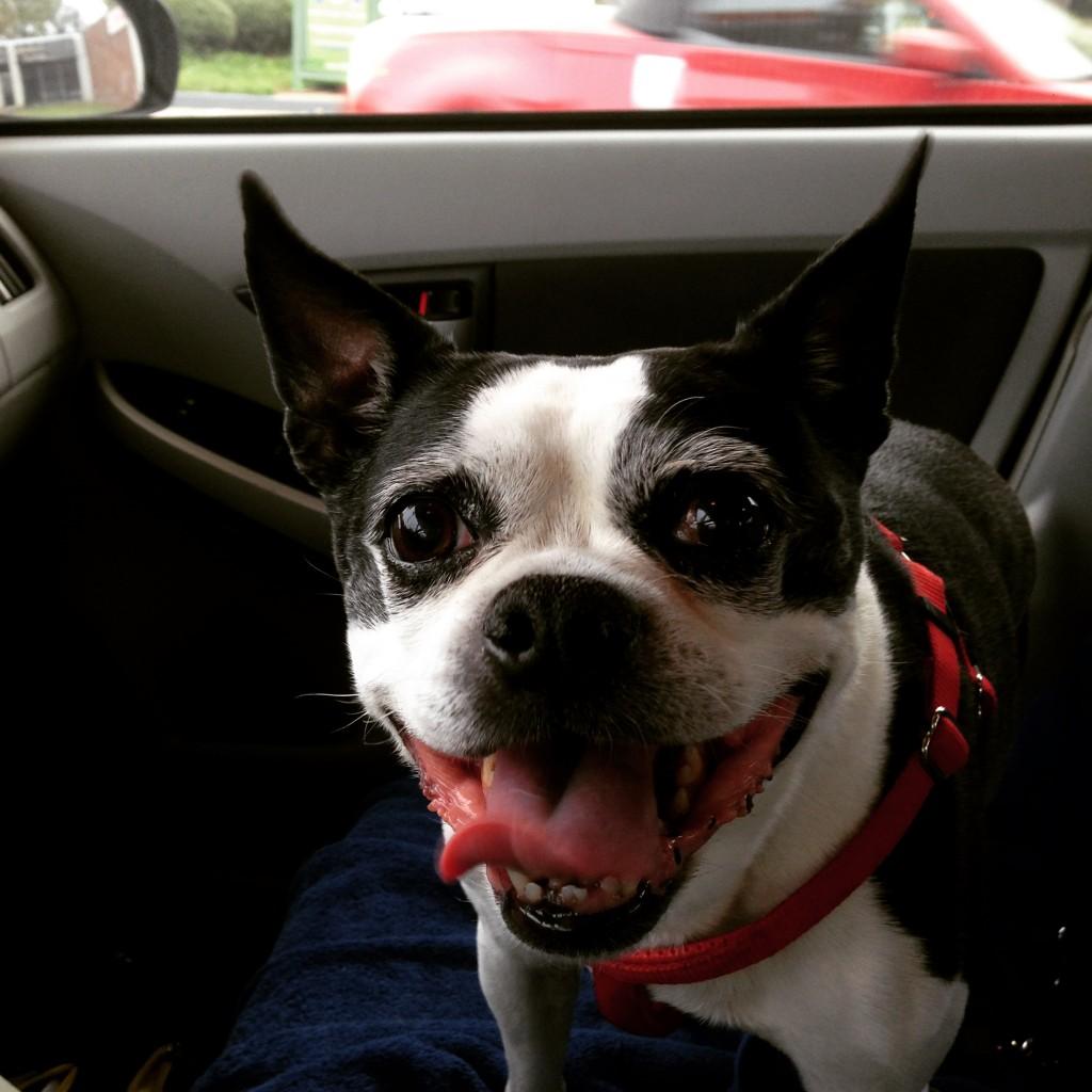 boston terrier on a road trip